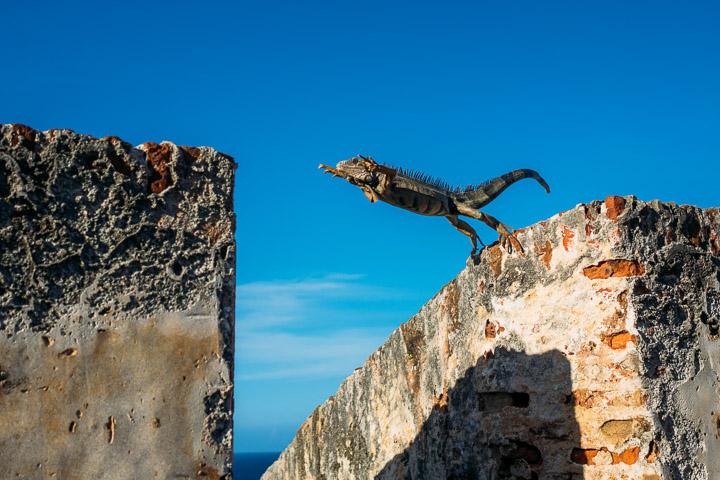 Iguana Jumping a Wall